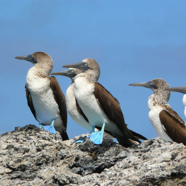 blue-footed-boobies-latin-excursions