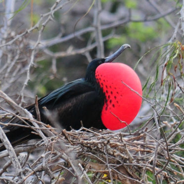 day01-Magnificent-Frigatebird-latin-excursions