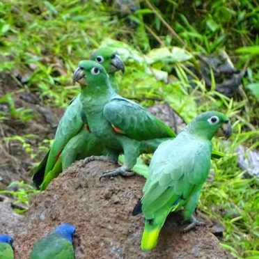 day03-parrots-clay-lick-latin-excursions