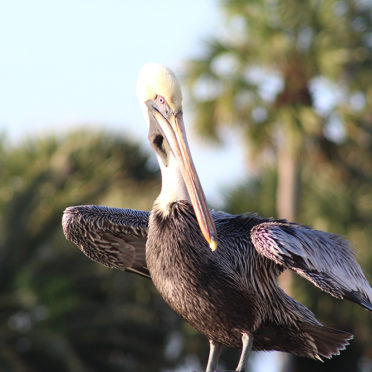 Pelican standing with his wings spread