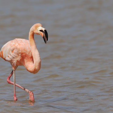Greater Flamingo (Phoenicopterus ruber ruber) wading in water, P