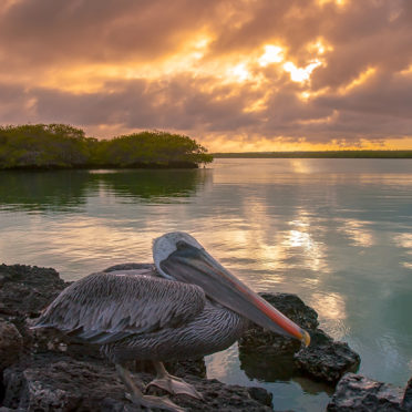 The Pacific coast. Galapagos Islands. Ecuador. Pelican sitting on a rock. Beautiful sunset by the ocean.