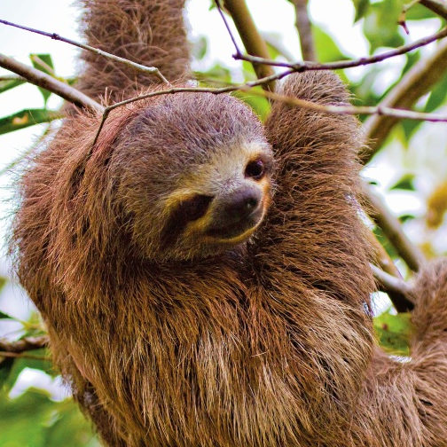 three-toed-sloth-latin-excursions