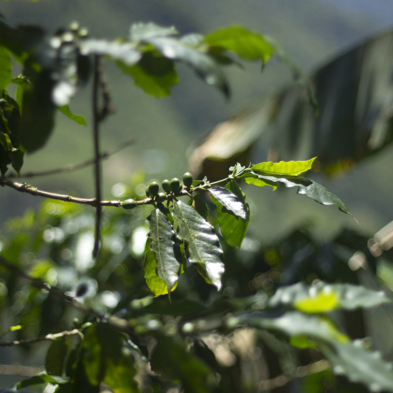 destination-panama-coffee-plants-latin-excursions