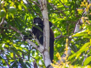 Howler Monkey at Isla Palenque